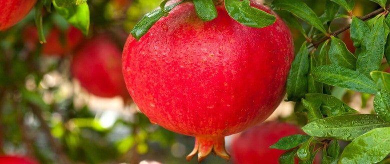 Artsakh's Pomegranate