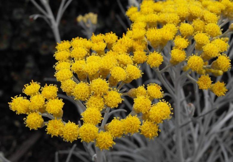 Armenian native flower #5 Everlasting flower